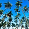 Muda de coqueiro anão preço