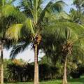 Muda de coqueiro preço