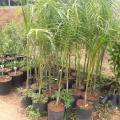 Muda palmeira imperial