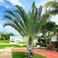 Palmeira triangular preço