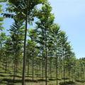 Plantio de cedro australiano