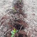 Plantio de mudas de espécies florestais