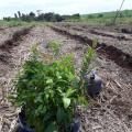 Plantio de mudas florestais