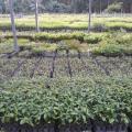 Plantio de mudas em tubetes