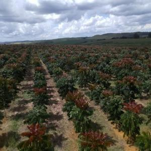 Custo plantio mogno hectare