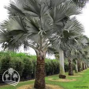 Palmeira azul valor